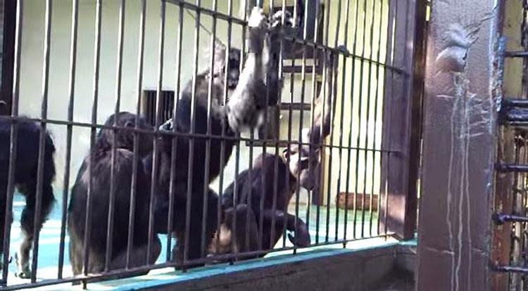 Este orangután cautivo da comida a sus amigos en un acto de bondad NUNCA VISTO ANTES
