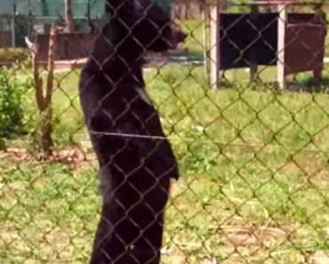 Este oso que había sido rescatado es SORPRENDIDO, ¡caminando de pie como un humano! 1