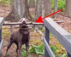 Este inteligente perro se da cuenta de cómo llevar un gran palo a través de un puente estrecho