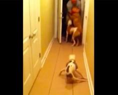 Esta perra paralítica encuentra la fuerza para dar la bienvenida a casa a su dueño que regresa de una misión