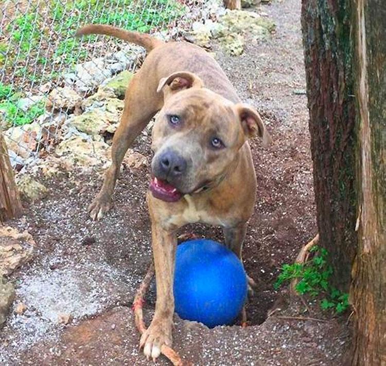 Este afligido pitbull necesita desesperadamente un nuevo hogar después del SUICIDIO de su propietario