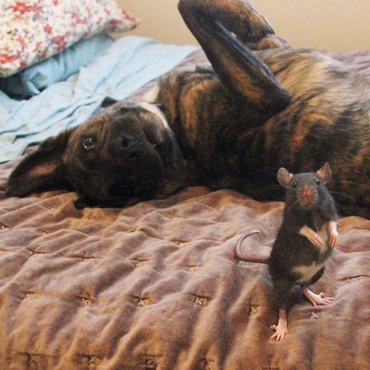Este buen perro de terapia y esta adorable rata forma un EXTRAÑO duo de amigos INSEPARABLES