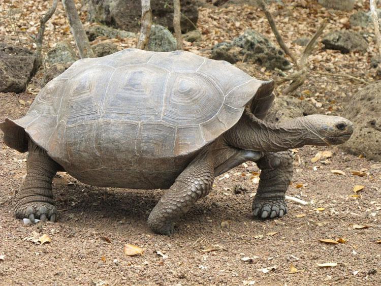 Tortuga bebé encontrada en las Islas Galápagos por PRIMERA VEZ en más de 100 años 3