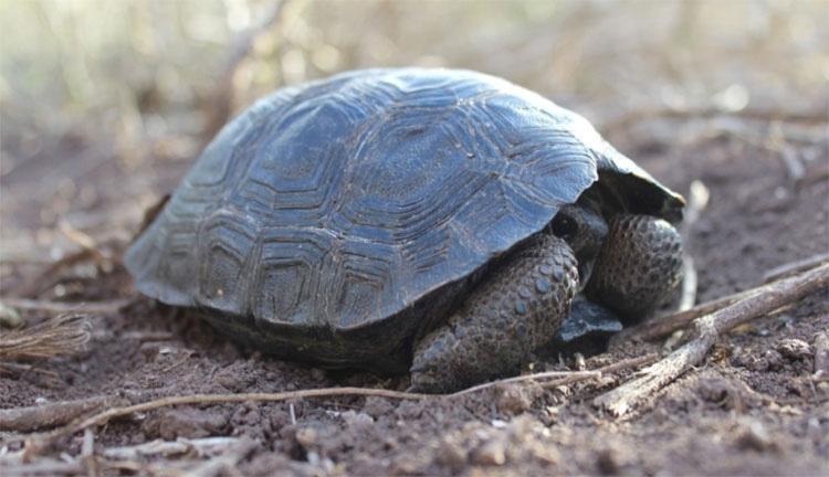 Tortuga bebé encontrada en las Islas Galápagos por PRIMERA VEZ en más de 100 años 1