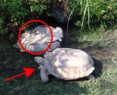 INCREÍBLE comportamiento animal: Esta tortuga es rescatada por otra compañera