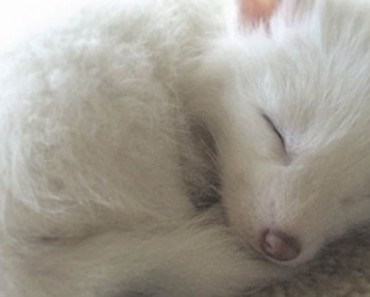 Esta pequeña zorrita completamente blanca está ABRUMANDO a Internet con su ternura