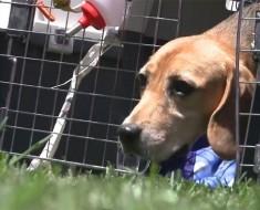 Beagles liberados después de años en jaulas de laboratorio tocan la hierba por primera vez en su vida. ¡EMOTIVO!
