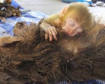 La madre de este pequeño mono fue ASESINADA. Su bebé reaccionó ASÍ