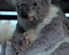 La reacción de este bebé koala al ver a su mamá por primera vez es casi DEMASIADO TIERNA para verla