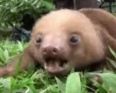 ¿Alguna vez se ha preguntado cómo suena un bebé de perezoso? ¡Prepárse a reír!