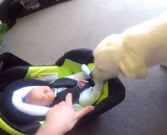 Papá deja que éste perro conozca al bebé recién nacido, pero segundos más tarde: ¡NO TIENE PRECIO!