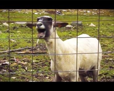 El ruido que esta cabra hace cuando grita es absolutamente hilarante. ¡No puedo parar de reír!