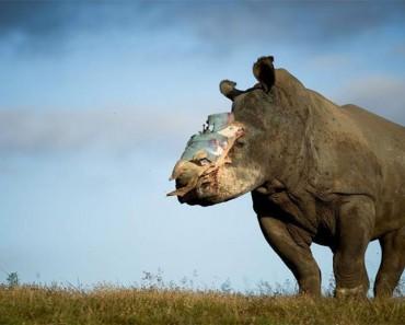 Estos valientes rinocerontes se niegan a MORIR por la codicia humana