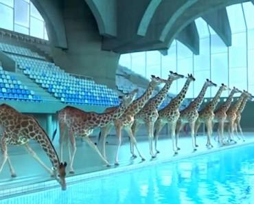 ¿Qué pasaría si unas jirafas visitaran una piscina? ¡ABSOLUTAMENTE divertido!
