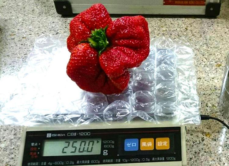 Un granjero japonés encuentra ésta fresa mutante que es la MÁS PESADA jamás encontrada 3