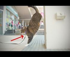 ¿Quién dijo que los gatos no pueden ser entrenados? Después de ver lo que puede hacer este gato, estoy sin palabras