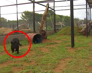 Mira lo que sucede cuanto este leopardo negro se encuentra con su cuidadora. ¡INCREÍBLE! 1