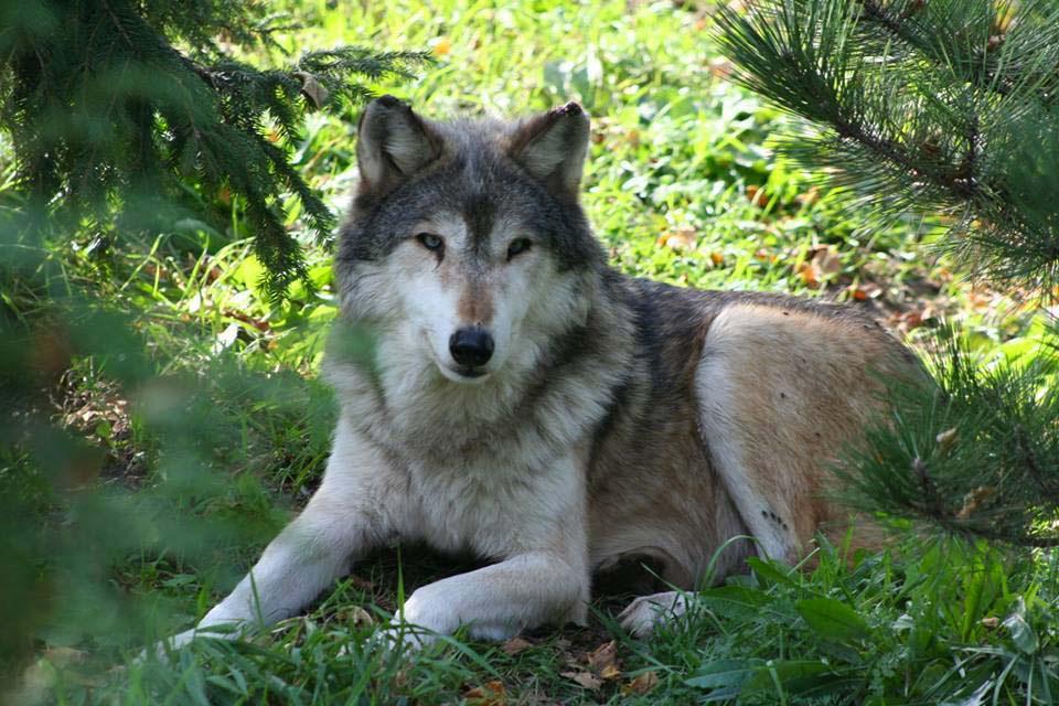 Este lobo inocente ha sido SACRIFICADO porque unos visitantes del zoológico rompieran las normas