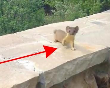 Éste vídeo de una mamá comadreja que no permite que sus crías se retrasen se ha hecho viral 1