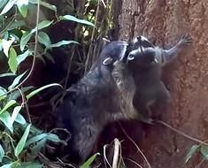 El ENTERNECEDOR vídeo de la madre mapache que enseña a su bebé a subirse a un árbol que da la vuelta al mundo