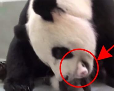 Los cuidadores del zoológico muestran a esta mama panda su cachorrito, lo que sucedió fue INCREÍBLE
