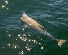 El avistamiento de la marsopa blanca es tan RARO que sólo han sido vistas 15 veces en 100 AÑOS