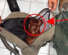 Encuentran un bebé orangután encogido de MIEDO en la mochila de su captor. Esta es la historia