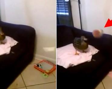 Ella lanza el balón a su pato. Ahora MIRA lo que el pato hace. ¿Habías visto algo así?