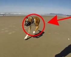 Este perro de sólo DOS PATAS no puede contener su emoción al estar en la playa