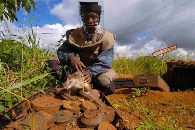 Estas ratas detectoras de bombas están salvando vidas en África, descubre CÓMO