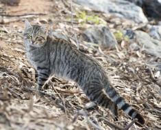 Australia planea matar a 2 millones de gatos de esta forma