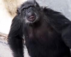 Esta es la reacción de un chimpancé rescatado de un Laboratorio cuando ve el cielo por primera vez