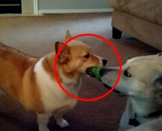 Corgi intenta robar el juguete de un labrador. ¡La reacción del labrador es hilarantemente LISTA!