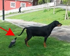 Este cuervo bromista (e inteligente) sorprende a un perro desprevenido de esta forma. ¡HILARANTE!