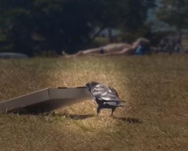 Estas personas se quedan HIPNOTIZADAS por lo que hace este cuervo con una caja de pizza. ¡No me lo puedo creer!