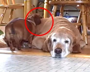 Su perro grande está dormido, ahora mira lo que hace el pequeño dachshund...