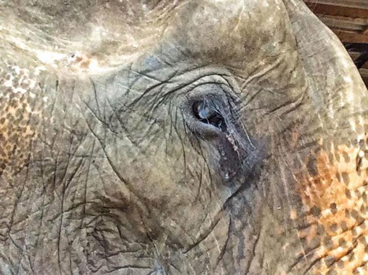 Mira como esta anciana elefanta rescatada de 70 años celebra su nueva libertad. ¡Qué EMOTIVO!