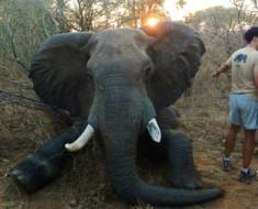 Un toro elefante salvaje - que había estado sufriendo durante al menos dos años con una lesión en la pierna terribles debido a una trampa - se salvó recientemente por un intrépido grupo de veterinarios y conservacionistas en Zimbabwe.