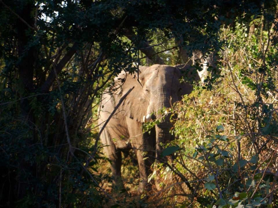 Después de años de sufrimiento, este elefante finalmente es liberado de una dolorosa trampa