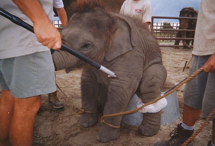 Hartos del circo, estos elefantes corren juntos para LUCHAR contra sus abusadores