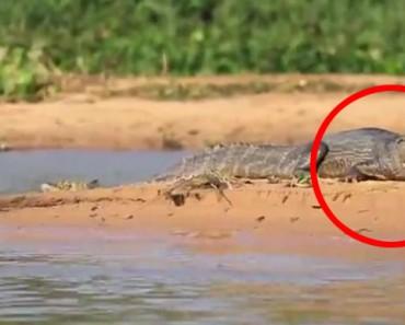 Este cocodrilo NO lo vio venir, y tampoco lo verás tú. ¡Qué locura!