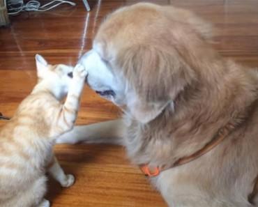 Precioso vídeo muestra a un gatito creciendo con su gran hermano perro. ¡Ternura infinita!