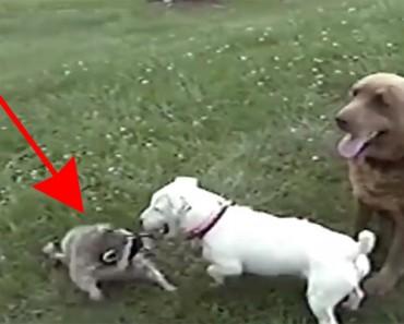 Un mapache fue recogido en un hogar con 2 perros. Años más tarde se reencuentra con ellos y PASA ESTO