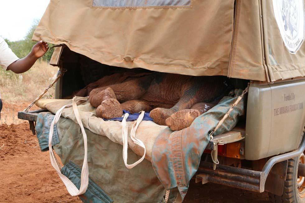 Matan a este elefante bebé antes de que aprendiese a usar su trompa