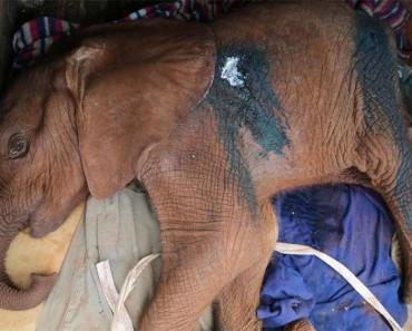 Matan a este elefante bebé antes de que aprendiese a usar su trompa 1