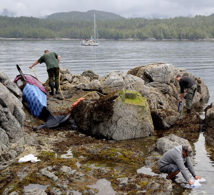 Esta orca varada GRITA mientras los rescatistas tratan de salvarla