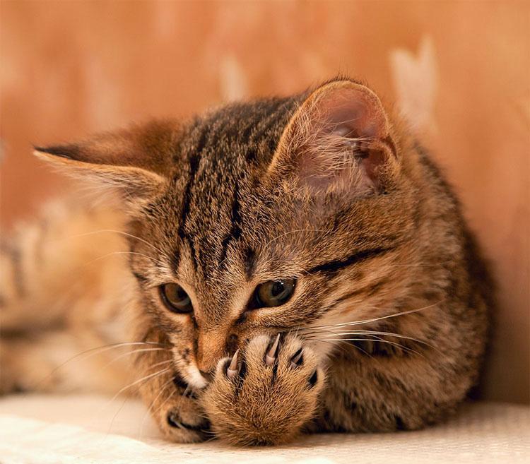 Por qué quitar las uñas a tu gato es CRUEL (y por qué es momento de DETENERLO)