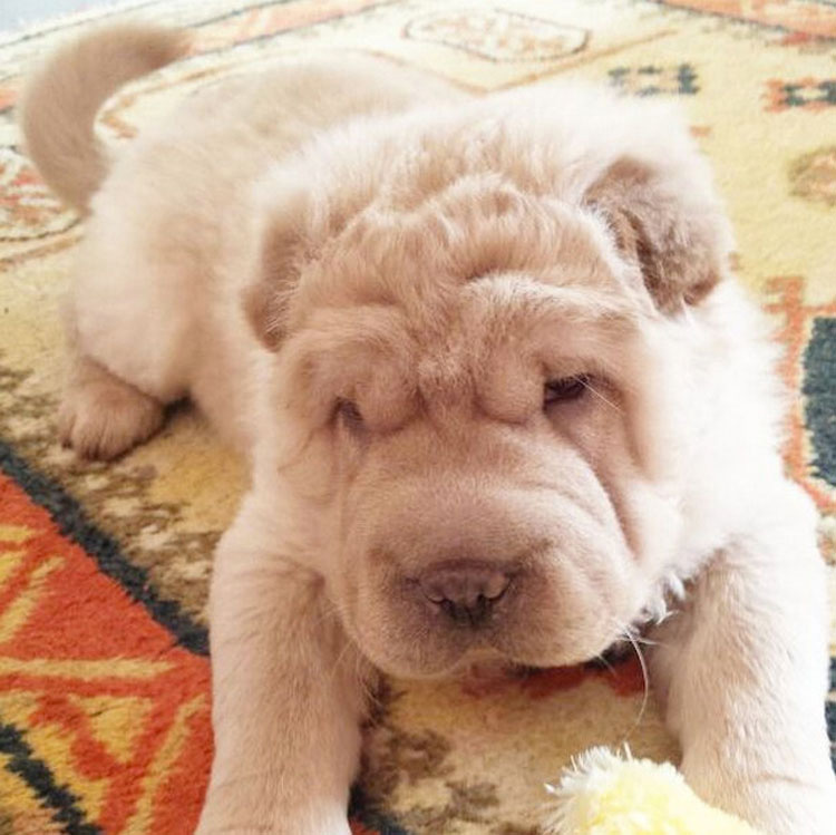 ¿A que no sabías que desde ahora mismo esta esponjosa raza de perro será tu favorita?