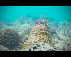 Ponen una cámara a una tortuga de mar y su recorrido por la Gran Barrera de Coral SORPRENDE al mundo