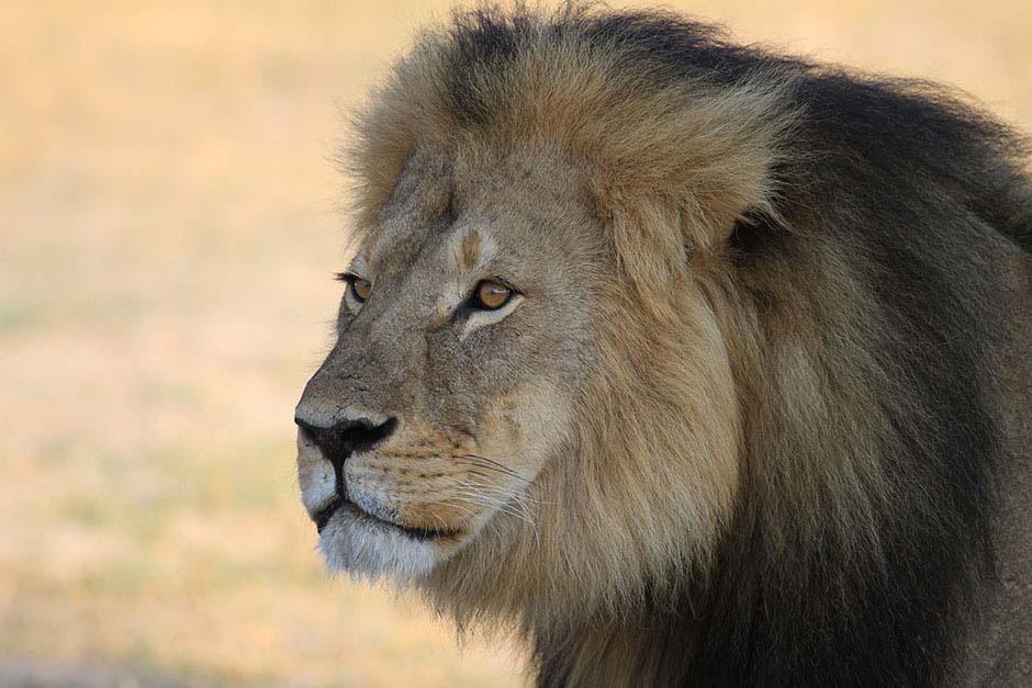 La muerte de Cecil es más deprimente: sus 12 cachorros podrían morir [Incluye ACTUALIZACIÓN]